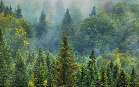 Forest and mist