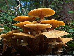 Honey mushroom in the forest