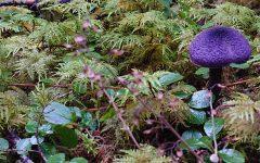 Purpple mushroom sprouting amid moss