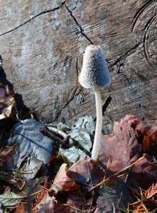 wooly inkcap mushroom on forest floor