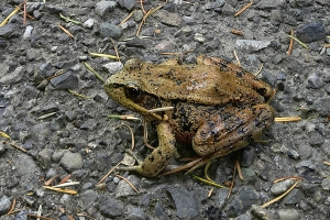 brown frog on the road