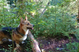Corgi on nurse log with baby tree seedlings