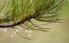 drops of water cling to pine needles