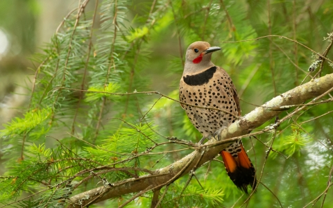 A northern flicker on a branch