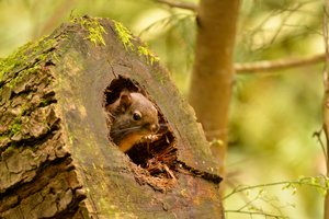 Red squirrel peeks out of a rotted log