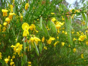 Scotch broom in bloom with seedpods