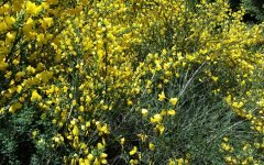 Scotch broom in bloom